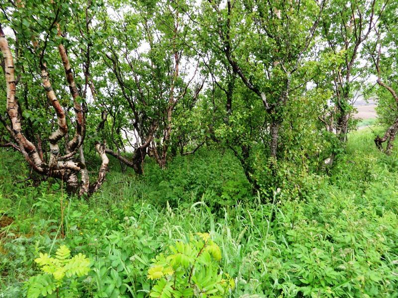 Bäume, Birken in Nordnorwegen